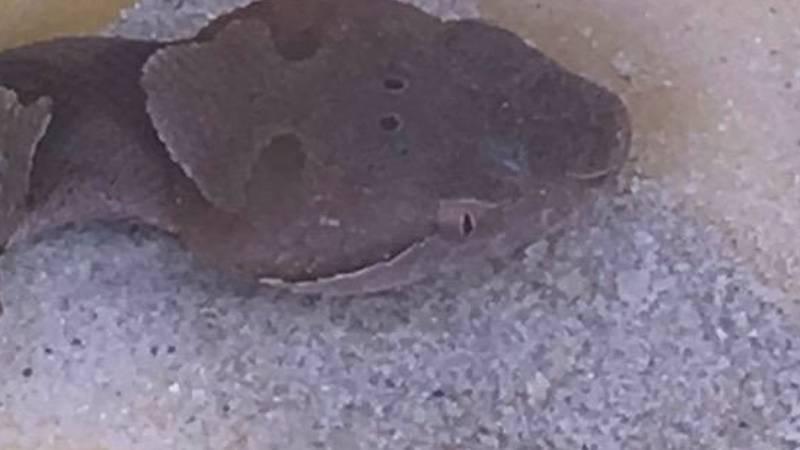 Copperhead Snake found in sandbox (Source: Van Watson)