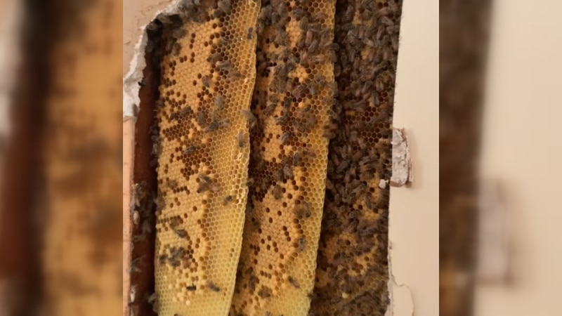 Tens of thousands of bees were found in the wall of a James Island home.