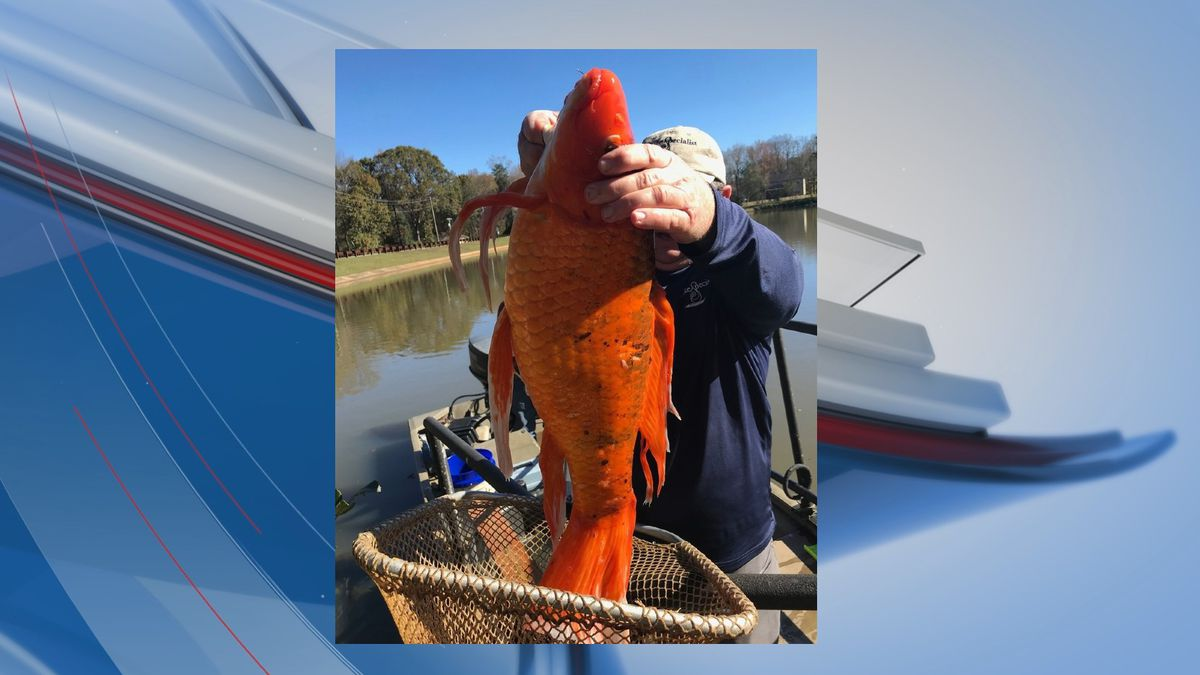 Greenville County park officials say a lake study turned up a 9-pound goldfish in an Upstate...
