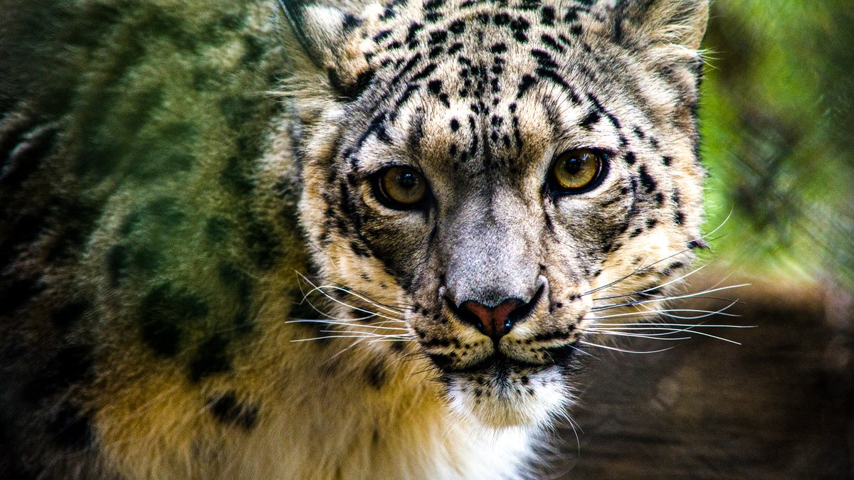 NeeCee is the first known case of the virus in a snow leopard, according to the Zoo.