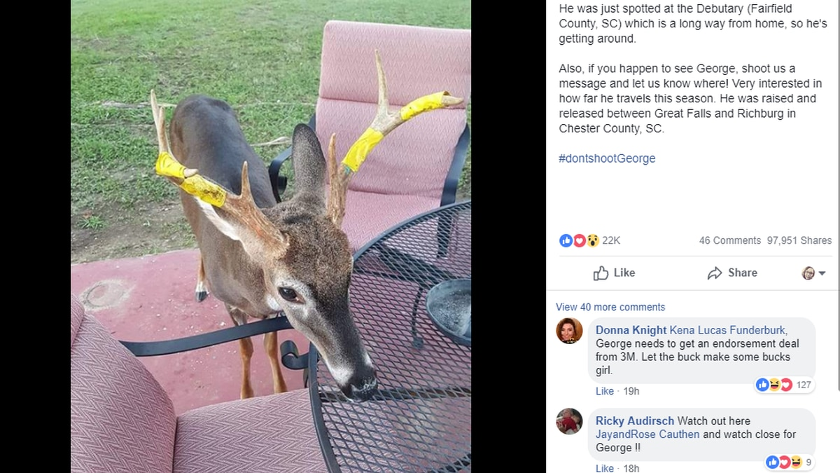If you see a deer with yellow tape on its antlers, he is not in distress. His name is George,...