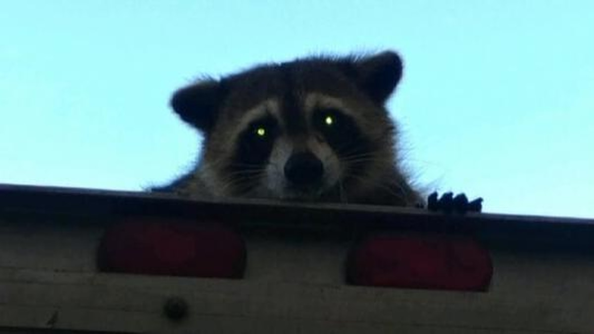 GF Default - Raccoon holds onto bread truck for 16 miles in Florida