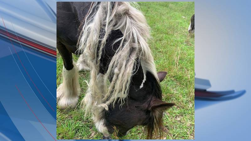 According to the Horry County Police Department, 20 emaciated horses were seized last week from...