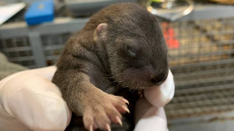 Four baby otters were born at the Brookgreen Gardens Lowcountry Zoo