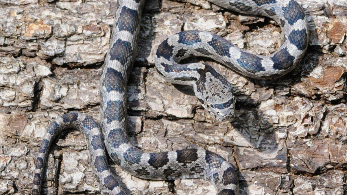 A juvenile rat snake.