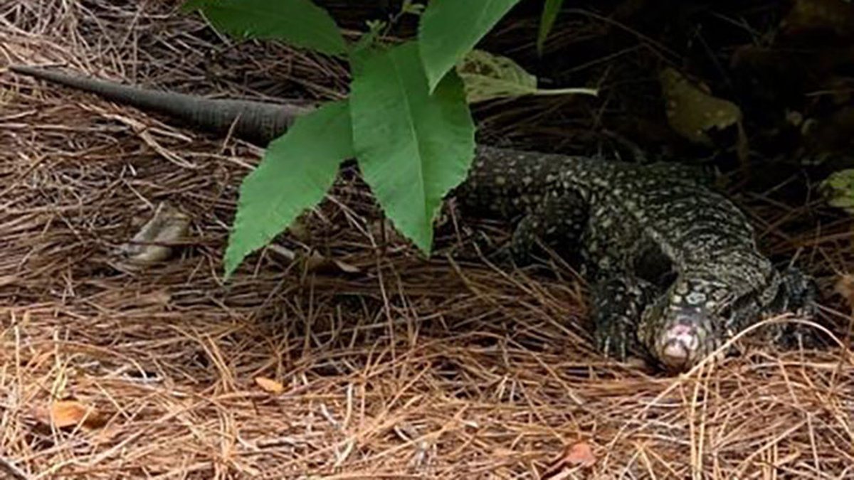 This black and white tegu was spotted by a Columbia homeowner.