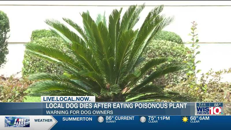 Vet warns dog owners of dangers of toxic sago palm plant