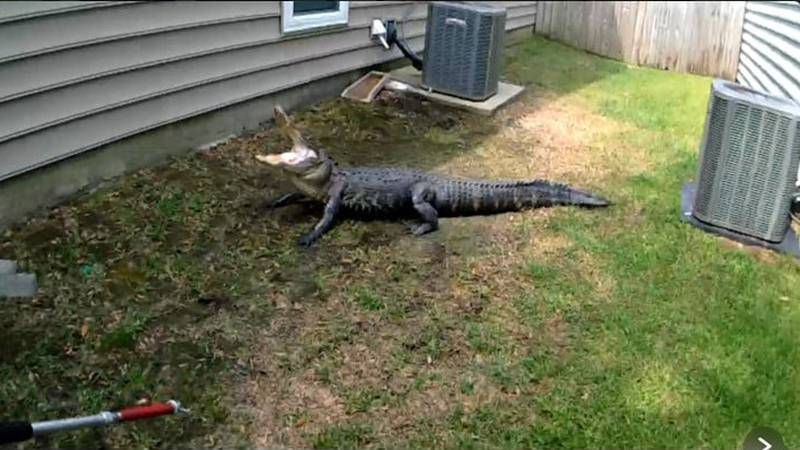 """""""[The gator] was detained and released to an out of the area location with a harsh warning,""""..."""