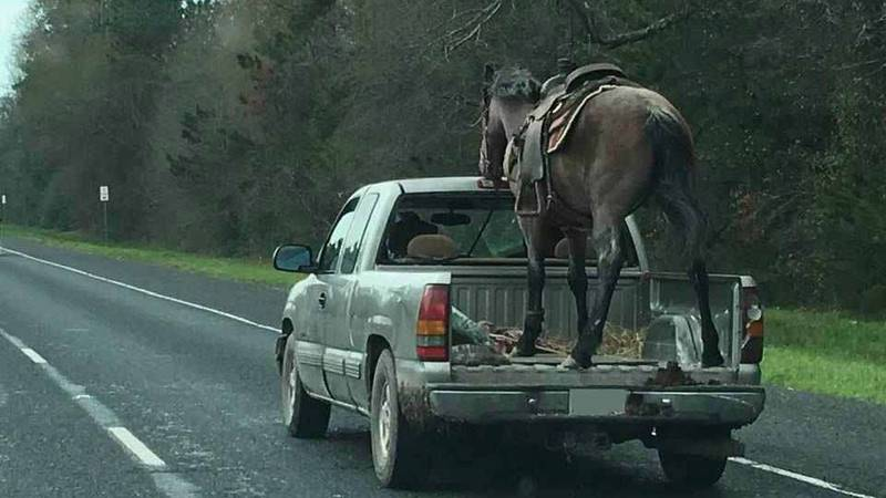 A photo of a horse in a pickup has drawn hundreds of comments. (Source: Kerry Green Costello)