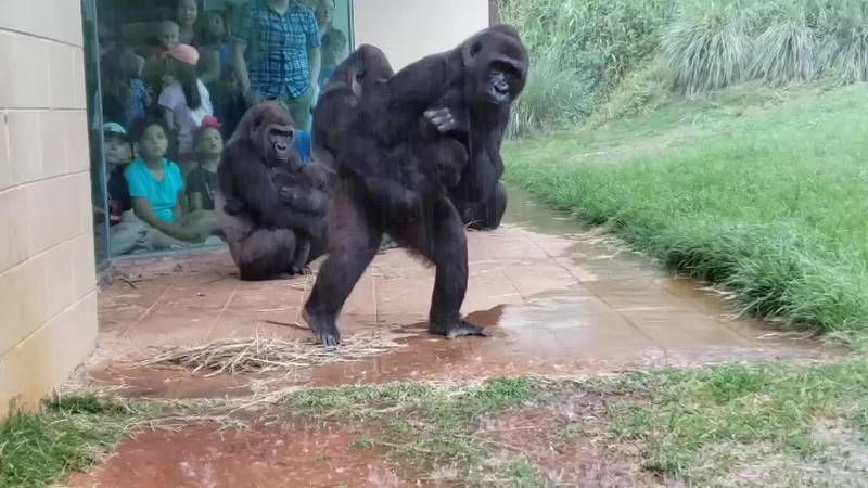 WATCH: Gorillas at this SC zoo show us that they don?t like being caught in the rain either